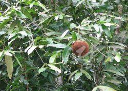 Chaulmoogra (plante)